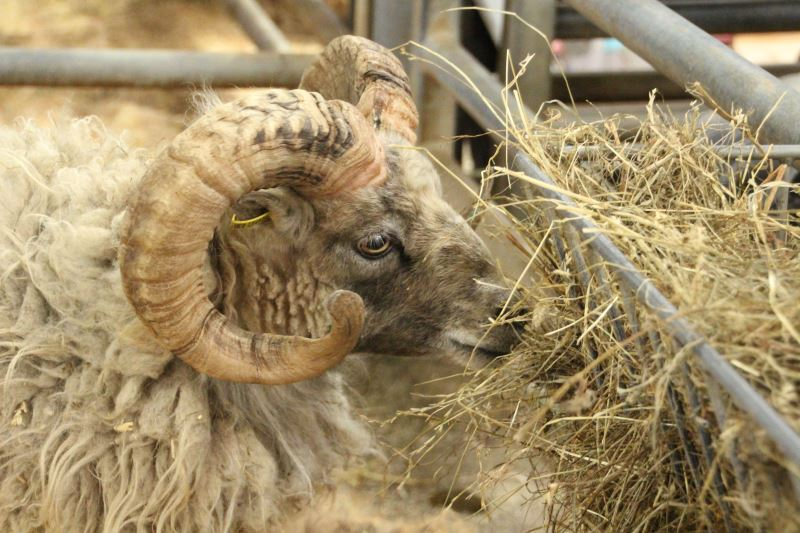 Livestock Sales and Fleece Information for Woolfest